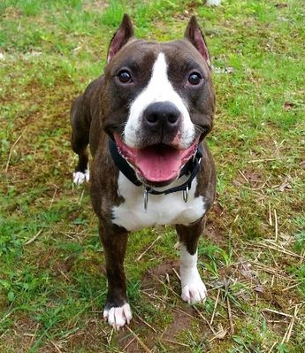 Brilliant Puppy Training, Vito the American Staffordshire Terrier puppy, Happy Paws School for Dogs, Puppy University, puppy training, Honesdale dog training